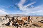 Owens Valley Burros-103