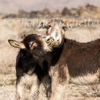 Our new friends: Eastern Sierra burros