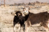 Owens Valley Burros-207