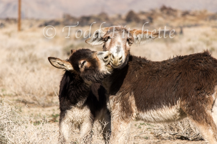 Our new friends: Eastern Sierra burros