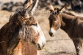 Owens Valley Burros-240