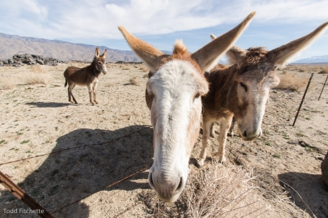 Owens Valley Burros-7