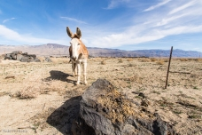 Owens Valley Burros-83