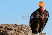 California_Condor-162