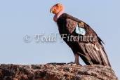 California_Condor-341