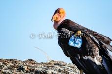 California_Condor-68