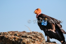 California_Condor-86